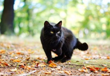What Does It Mean When A Black Cat Follows You?