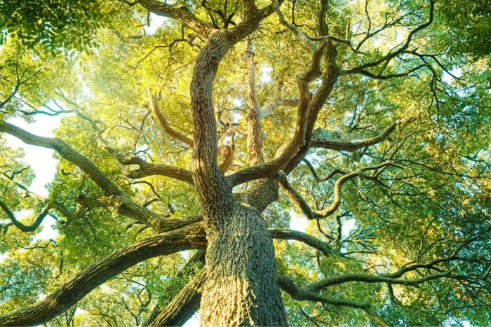 The symbolism for fig tree